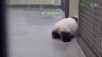 Giant Panda puts Baby Back To Bed