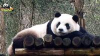 20160130 保育員說 圓仔妳上完廁所下來囉 The Giant Panda Yuan Zai