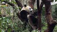 20160131圓仔屁股一扭一扭往上爬 為哪樁 The Giant Panda Yuan Zai