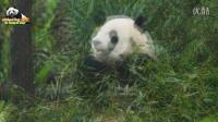 20160130圓仔美圖幻燈秀 The Giant Panda Yuan Zai