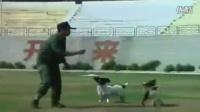 养金毛幼犬注意事项_拉布拉多犬饲养方法