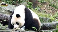 20160131圓仔提前吃年夜飯(特製團圓冰) The Giant Panda Yuan Zai