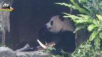 20160206圓仔在樹洞吃烤魚(是茄苳樹樹幹啦)The Giant Panda Yuan Zai