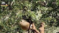 20160210大年初三圓仔在樹上高空翻滾 The Giant Panda Yuan Zai