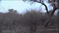 实拍南非金钱豹努力捕猎 却被狮子坐享其成