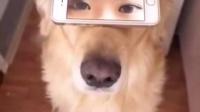 逗逼主人用手机给金毛配了一对美女眼睛,竟然毫无违和感。。。隔着屏幕我都能感受到狗|猪猪爱讲冷笑话 0在线播放视频相关视频