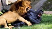 非洲雄狮vs银背大猩猩