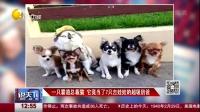 一只霸道总裁猫  它竟当了7只吉娃娃的超级奶爸 说天下 160229