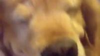 网友家的金毛寻回犬长了一双小眼睛,主银每次用力摸摸它的头的时候,金毛的眼睛就会变|我和宠物的日常