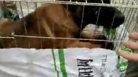 马犬价格 哪有卖马犬的 马犬养殖场