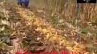 每天一个搞笑视频——粉红色的回忆之收玉米