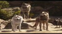 老虎与狼群对峙,一场激动人心的丛林猛兽传奇快要上演#广场舞#