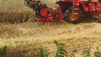 实拍收割机收麦过程