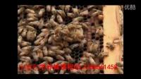 ∶新式中蜂养殖蜜蜂养殖技术(1)视频