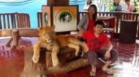实拍印尼一动物园疑麻醉狮子 强迫其与游客拍照