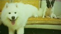 沙发靠背的麻将席被北斗接二连三地霍霍了...|狗狗欧弟和它的故事