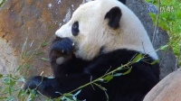 Giant panda vigorously munches away on bamboo|Ru