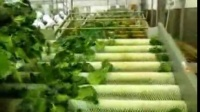日本菠菜线