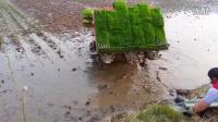 这样种水稻效率很高啊