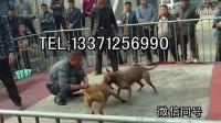 钟祥比特犬幼犬多少钱一只,比特犬小狗哪里有出售的  钟祥新闻资讯!!!