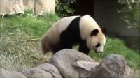 Hua Sui Ba, la hembra de panda de Zoo de Madrid, se encuentra en celo