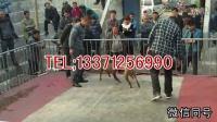 河间比特犬幼犬多少钱一只,比特犬小狗哪里有出售的  河间新闻资讯!!!