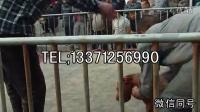 滁州比特犬卖多少钱一只,比特犬幼犬哪里有卖的  滁州最新资讯!!!