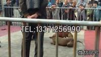 淮南比特犬卖多少钱一只,比特犬幼犬哪里有卖的  淮南最新资讯!!!