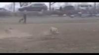 枣庄哪里有打场格力犬养殖场:纯种格力犬多少钱一只