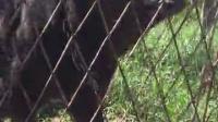 视频: 莱州红地瓜之子QQ1156027625