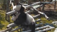 Toronto Zoo Giant Panda Cub Playing With Mom