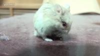 吃桑葚的小仓鼠摔下去了【幻想酱】