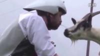 【库里猴】英国男子当了三天的山羊 吃了三天的草