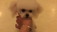 QQ茶杯体形白色贵宾小狗狗犬