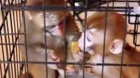 小猴子怎么卖,宠物猴多少钱一只?