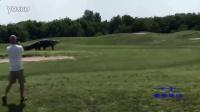 实拍巨型鳄鱼高尔夫球场穿行 呼吸声响似怪兽