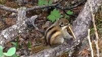 亚丁景区吃饼干不给拍照的松鼠