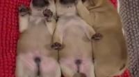 睡觉抖腿的小奶狗,太可爱了!