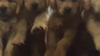 现在金毛幼犬多少钱一只 安徽买金毛犬 河北金毛犬养殖
