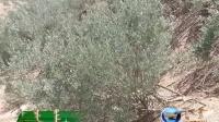 绿色科尔沁系列报 9 巴林右旗巴音额尔德尼 沙漠变绿洲VA0