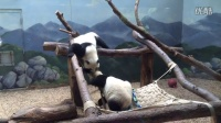 Mei Lun and Mei HuanTwin female giant panda cubs at Zoo Atlanta on May21,2016