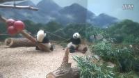 Atlanta Zoo Panda Mei Lun and Mei Huan_May 2016