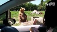 超酷的一只熊,来到车前,站起来打个招呼,单爪接面包,开吃,一气呵成……敢出来讨吃的肯定得有真本事