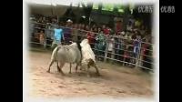 血腥老挝斗牛