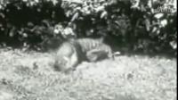 欧洲巨蟒对战老虎猎豹!