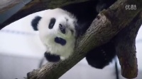 They Wont Be Small Forever - Toronto Zoo Giant Panda Cubs