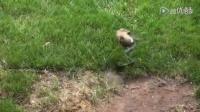 兔妈妈发现自己孩子被蛇杀死后——千万别低估任何一位母亲!