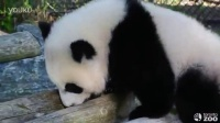 Toronto Zoo Giant Panda Cubs at 8 Months