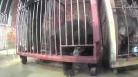 中国马戏团残忍训练动物