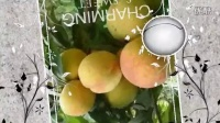 自制黄桃罐头喜欢的加微信Sk608457(美影美视app制作)